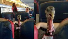 Turkey Photographed Flying Coach With Airline Passengers  For the love of animals. Pass it on.