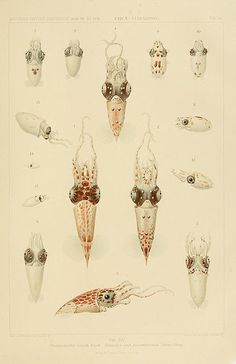Squids of the Species Pterygioteuthis Giardi- Print fromCarl Chun's1910 book Die Cephalopoden