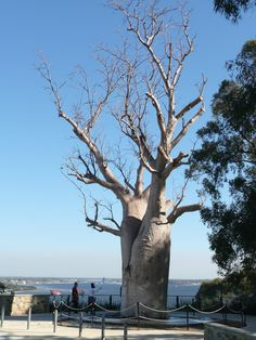 Kings Park, Perth, Western Australia. Baobab tree brought from up north