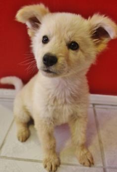 """Wolf/Husky hybrid. I might be tempted to name him (?) """"Wolfsky."""" :)"""