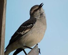 Mockingbird singing at night, laughing because I can it the brain injured mockingbird. It's singing and carrying on like it's daylight, crazy bird!♡♡♡