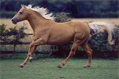 American Quarter horse!