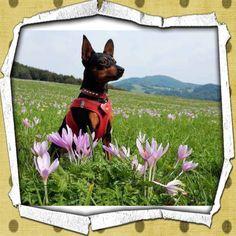 Hunde Foto: Josefa und Chicco, der Bergpinscher - Frauchen moch schnell, i mog net solang sitzen!😂.jpeg Hier Dein Bild hochladen: http://ichliebehunde.com/hund-des-tages  #hund #hunde #hundebild #hundebilder #dog #dogs #dogfun  #dogpic #dogpictures