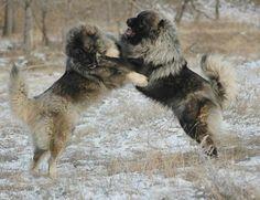 Caucasian Ovcharka | Caucasian Ovtcharka (or Ovcharka), also known as the Caucasian ... Russian Dog Breeds, Russian Bear Dog, Caucasian Dog, Caucasian Shepherd Dog, Russian Caucasian, Shepherd Dogs, Massive Dog Breeds, Large Dog Breeds, Huge Dogs