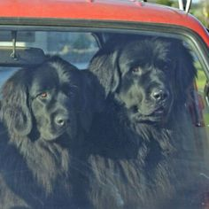 Fun pictures of Newfoundlands
