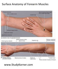 """"""""""" Surface Anatomy of Forearm Muscles – StudyKorner """""""" Surface Anatomy of Forearm Muscles """""""" Hand Anatomy, Anatomy Study, Body Anatomy, Forearm Muscle Anatomy, Forearm Muscles, Physical Therapy Student, Human Anatomy And Physiology, Medical Anatomy, Massage Therapy"""