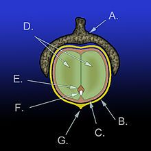 Diagram of the anatomy of an acorn: A.) Cupule B.) Pericarp (fruit wall) C.) Seed coat (testa) D.) Cotyledons (2) E.) Plumule F.) Radicle G....