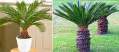 Cikász pálma bemutatása, cikász pálma gondozása, ismerd meg közelebbről a cikász pálmát, tudj meg mindent a cikász pálma gondoásáról, neveléséről, igényeiről! Plants, Cactus Plants, Garden