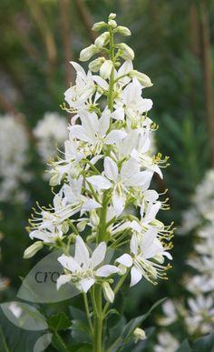 Dictamnus albus, mooseksenpalavapensas valkoinen