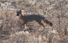 A gray fox in Kitty Hawk