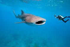 Record animaux requin baleine