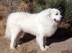GREAT PRYNESS DOG PHOTO   ... recent article Highlight Hollywood did on our Great Pyrenees dogs