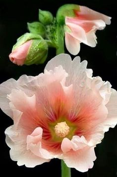 Hollyhocks.  When I was a child we had hollyhocks of various colors growing in the backyard in the little nook by the kitchen.  They are some of my favorite flowers.  I remember using the seeds to decorate my mud pies.