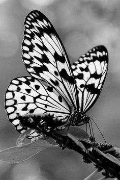 Monochrome butterfly