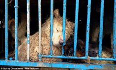 """China's sickening trade in dog meat. Never mind the """"philosophical"""" differences about whether animals should be eaten or which animals should be eaten. The Asian pet trade purposely tortures these animals prior to the inhumane slaughter based on WRONG superstition that that tortured meat tastes better. Gruesome!"""