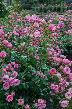 Biltmore Rose Gardens via Hedgerow Rose - Pomponella