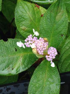 7/23 タマアジサイ(玉紫陽花、学名: Hydrangea involucrata)は、アジサイ科アジサイ属の1種の落葉低木。  つぼみが球形であることから名付けられた[1]。  キク類 Asterids 目:ミズキ目 Cornales 科:アジサイ科 Hydrangeaceae 族:アジサイ族 Hydrangeeae 属:アジサイ属 Hydrangea 亜節:タマアジサイ亜節 Asperae 種:タマアジサイ H. involucrata 学名 Hydrangea involucrata Sieb.