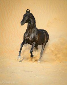 stallion NAAGRAJ ©Ekaterina Druz