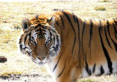 Hang with a Bengal Tiger at the Wild Animal Safari in Springfield, Missouri.