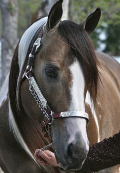 Buckskin Paint Stallion, QT's Gold Mastercard
