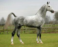 Dutch Harness Horse/Tuigpaard - stallion Victory