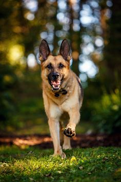 Daily Dose - September 27, 2015 - Kahn is On It! - German Shepherd Dog   2015©Barbara O'Brien Photography