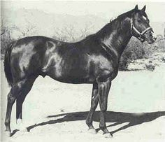 Three Bars (TB), 1940 Thoroughbred that influenced the Quarter Horse breed more than any other- Dash for Cash (racing), Zippo Pine Bar (western pleasure) and Impressive (halter) all trace back to this stallion!