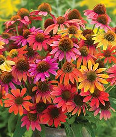 """Echinacea, 'Warm Summer' variety.  Exceptional first-year flowering coneflowers, in a bright palette of lush, warm colors from June through August. Single flowers in shades of orange, yellow, scarlet red, rose, purple and cream.  Reaches 26-30"""" tall on upright plants, 18""""wide. The long, strong stems are lovely in a vase, fresh or dried.   Zones 4-9. Full sun, water when dry just to get established. Resistant to Cold, Deer, Drought, Heat, Rabbits!!"""