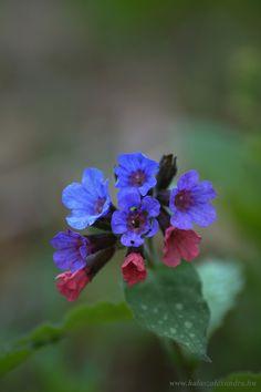 tüdőfű Nature Animals, Flowers, Plant, Backgrounds, Royal Icing Flowers, Flower, Florals, Floral, Blossoms