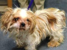 SAFE 01/28/15 (by Second Chance Rescue) --- Brooklyn Center   PAYTON - A1025938   MALE, TAN / WHITE, LHASA APSO MIX, 5 yrs STRAY - STRAY WAIT, NO HOLD Reason STRAY  Intake condition EXAM REQ Intake Date 01/21/2015, From NY 11209, DueOut Date 01/24/2015 https://www.facebook.com/Urgentdeathrowdogs/photos/pb.152876678058553.-2207520000.1421885526./947981678548045/?type=3&theater