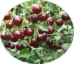 Cherry Carmine Jewel Bush Carmine Jewel is part of a group of the best tasting bush cherries. The dark red, almost black fruits are sweet with very high nutritional contentof super food status. Carmine Jewel is adaptable, low maintenance with high pest resistance. Height 6-8' tall. Carmine Jewel is a cross of Prunus cerasus (sour cherry) and Prunus fruiticosa (dwarf ground cherry). Very hardy, Zone 2-7