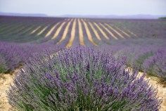 Lavender fields in Provence - The Best of France: A Two Week Itinerary - The Trusted Traveller