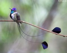 Marvelous Spatuletail, Peru