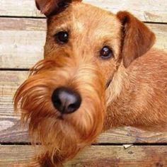 Irish Terrier Information - Dog Breeds at thepetowners Fox Terriers, Wire Fox Terrier, Airedale Terrier, Welsh Terrier, Terrier Dogs, Cute Dogs Breeds, Dog Breeds, Dogs And Kids, Dogs And Puppies