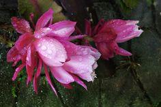 Neu in meiner Galerie bei OhMyPrints: Kaktusblüte - Nach dem Regen