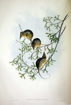 """Honey Possum. Photo from """"Mammals of Australia"""", Vol. I Plate 5  Part of the 3 Volumes by John Gould, F.R.S. Museum Victoria."""