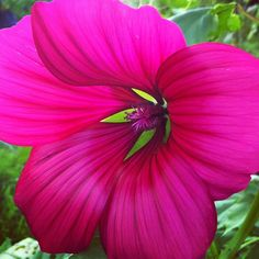 """@emmmab's photo: """"Sexy Malope Trifida showing up the rest of the allotment"""""""