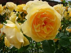 Graham Thomas is my favorite of the Austin Roses...This stunning yellow rose sport a cabbage rose shape and a heavenly scent