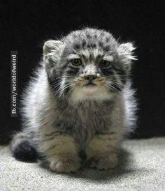 Manul cat from siberia