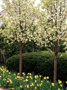 Callery pear (Pyrus calleryana) is fast-growing and has small white flowers in the spring and colorful foliage in the fall. Callery pear (Pyrus calleryana) is fast-growing and has small white flowers in the spring and colorful foliage in the fall. Ornamental Pear Tree, Flowering Pear Tree, Pear Trees, Dwarf Flowering Trees, Dwarf Trees For Landscaping, Front Yard Landscaping, Garden Trees, Trees To Plant, Backyard Trees