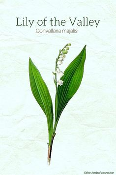 Herbal Medicine Lily of the Valley (Convallaria majalis) - Botanical Name: Convallaria majalis. Other Common Names: May lily, our lady's tears, little maybells, fairy cups,. Herbs For Health, Healthy Herbs, Herbal Plants, Medicinal Plants, Natural Herbs, Natural Healing, Natural Medicine, Herbal Medicine, Growing Herbs