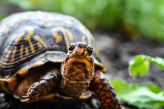 Box Turtle One Of The Most Heavily Trafficked Animals In US,Why the box turtle,Tennessee Aquarium,Blanding's turtle Blanding's Turtle, Turtle Names, 4k Photography, Animal Photography, Photography School, Product Photography, Wedding Photography, Tortoise Rescue, Animales