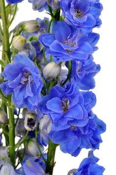 Blue Delphinium Wholesale Flowers (100 Stems)