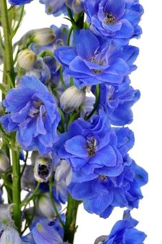 Blue Delphinium Wholesale Flowers (100 Stems)  #wedding #flowers #centerpiece #decor #romance #valentinesday #peony #holidays #sunflowers #decorations