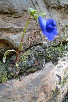 Terna e doce, mesmo saindo por entre pedras. Vale do Peruaçu- MG- Brasil