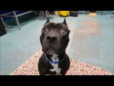 SAFE❤️❤️ 1/29/17 BY ANIMALS CAN'T TALK RESCUE AND ADOPTION INC❤️ THANK YOU SO MUCH❤️❤️ Brooklyn Center My name is DIAMOND. My Animal ID # is A1101073. I am a female black and white am pit bull ter mix. The shelter thinks I am about 5 YEARS old. I came in the shelter as a OWNER SUR on 01/05/2017 from NY 11225, owner surrender reason stated was LLORDPRIVA. I came in with Group/Litter #K17-085693. (SMOKEY – A1101075)