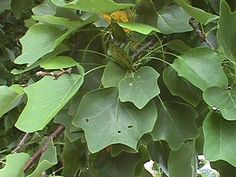 Identify Yellow Poplar (tulip tree): Yellow-poplar
