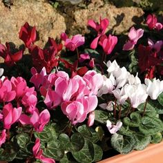 Mini Cyclamen Patio Collection 6 Large Plants Compact Cyclamen, tolerant of the winterThese Cyclamen are hardy so they are great for any type of container and are great at fighting off the frost. They can be grown indoors or out and display pink  http://www.MightGet.com/january-2017-11/mini-cyclamen-patio-collection-6-large-plants.asp