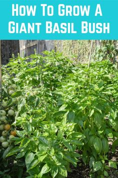 How To Grow A Giant Basil Bush: A Pro Gardener Reveals Their Secret - Here's a few secrets from a pro gardener for growing a huge basil plant this year. Fruit Garden, Lawn And Garden, Vegetable Garden, Garden Plants, Garden Landscape Design, Garden Landscaping, Landscaping Design, Organic Gardening, Gardening Tips