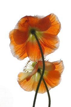 Poppies 5606